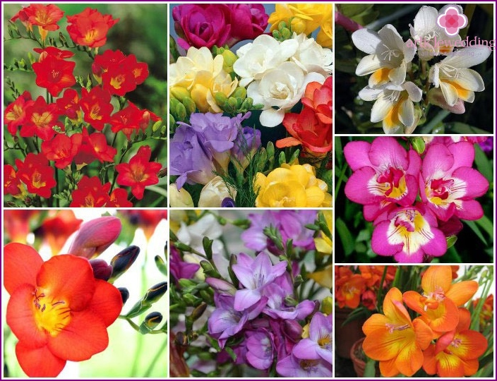 Types of freesias