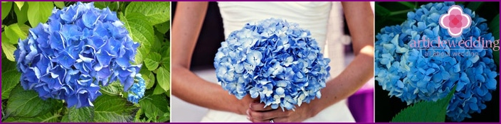 Blue hydrangea in a natural environment