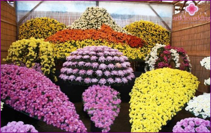 Chrysanthemums for wedding bouquets