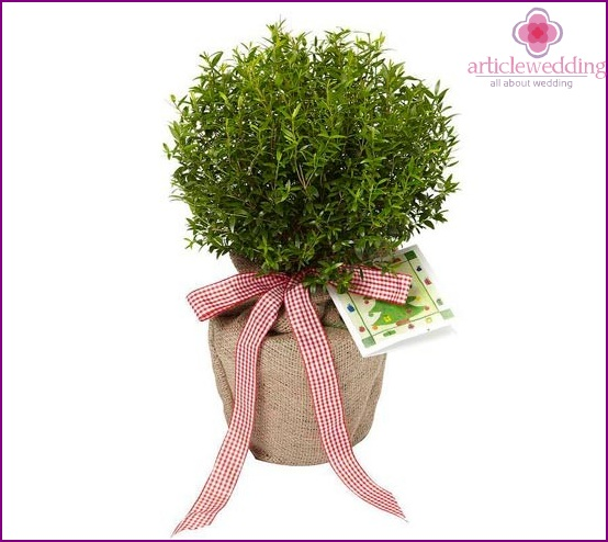 Myrtle tree as a gift