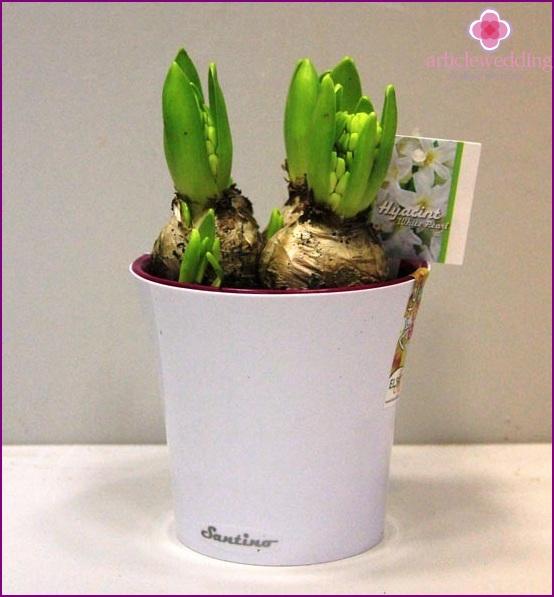 Bonbonniere - flower bulb