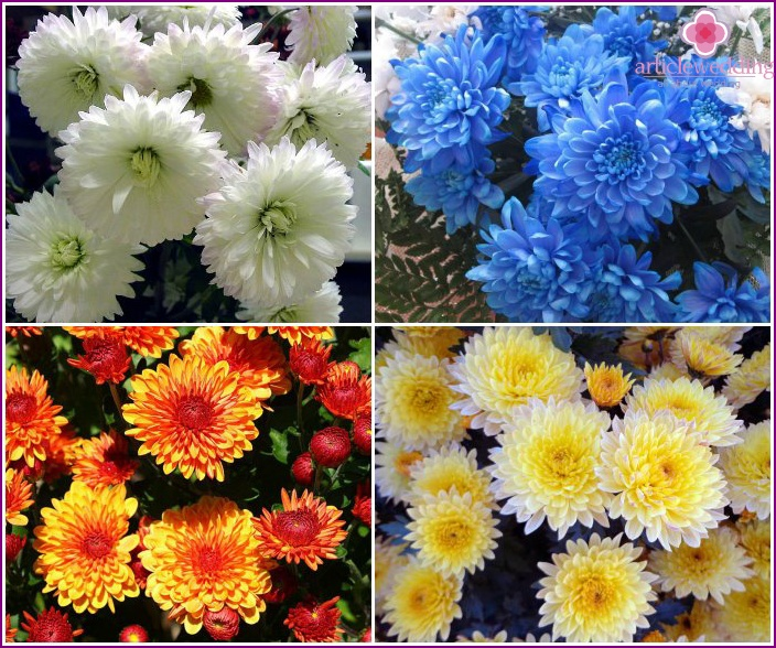 Multi-colored chrysanthemums for the bride's bouquet