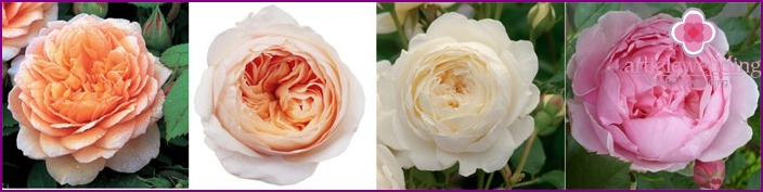 Peony roses for wedding bouquets