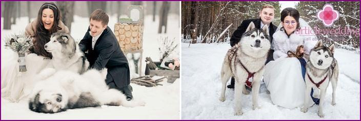 Husky wedding winter shot